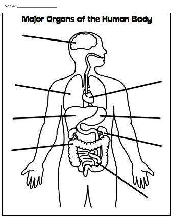 Human Body Worksheets page Label Major Organs