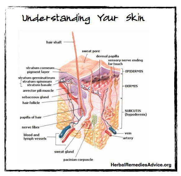 There are three skin layers of the integumentary system
