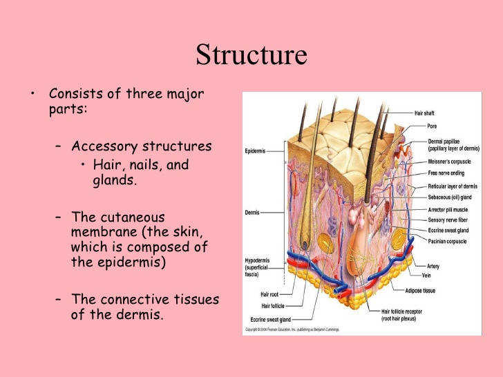 the integumentary system bethany susan 4 728