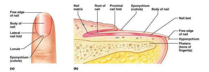 Integumentary System Structure