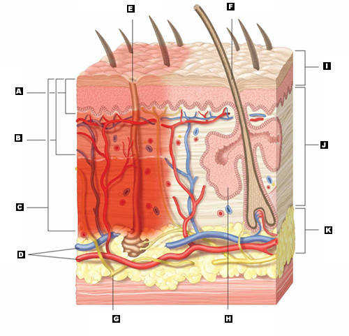 Integumentary System Functions Human Anatomy Chart