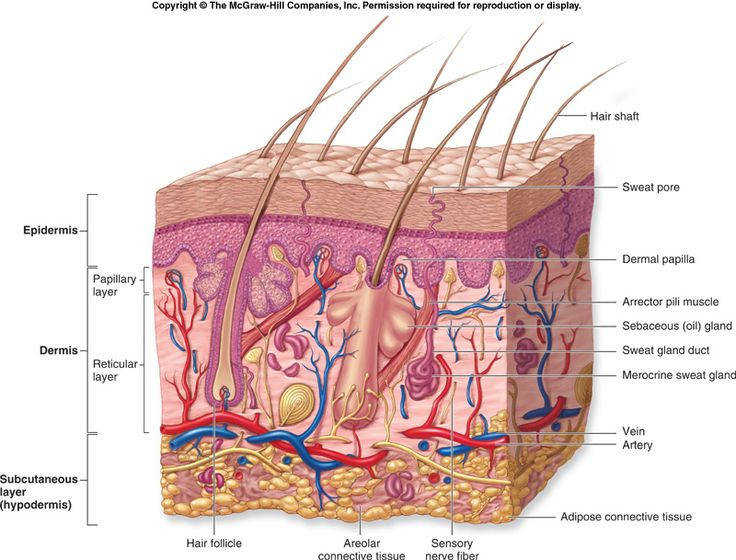 27 best Anatomy Integumentary System images on Pinterest