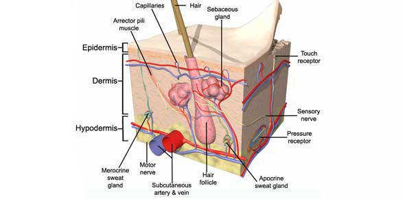Integumentary System Quizzes & Trivia