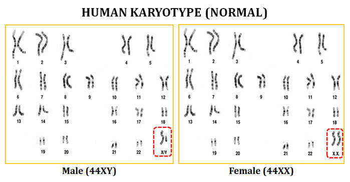 Karyotype Worksheet Homeschooldressage Com