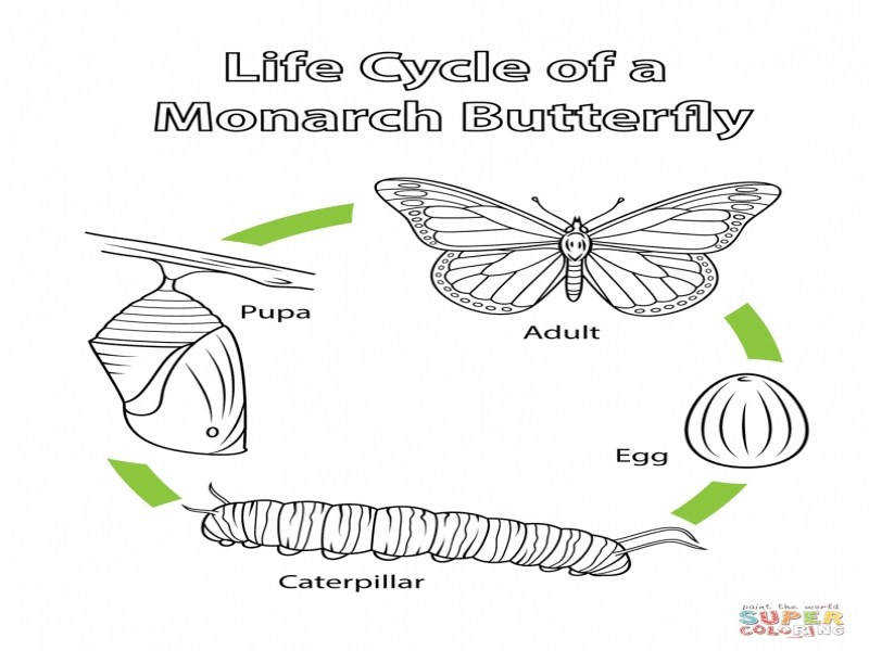 Life Cycle A Monarch Butterfly Coloring Page