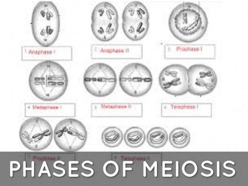 11 4 Meiosis Worksheet Answers