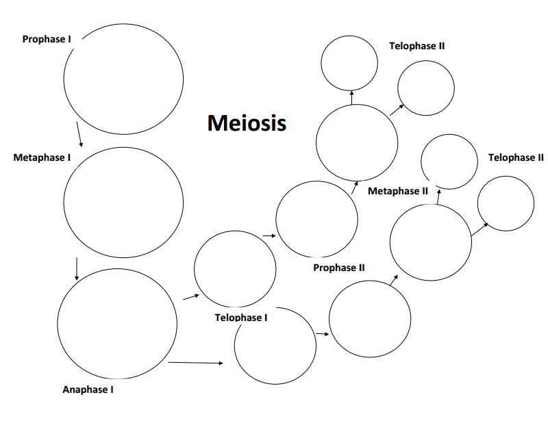 meiosis stages worksheet