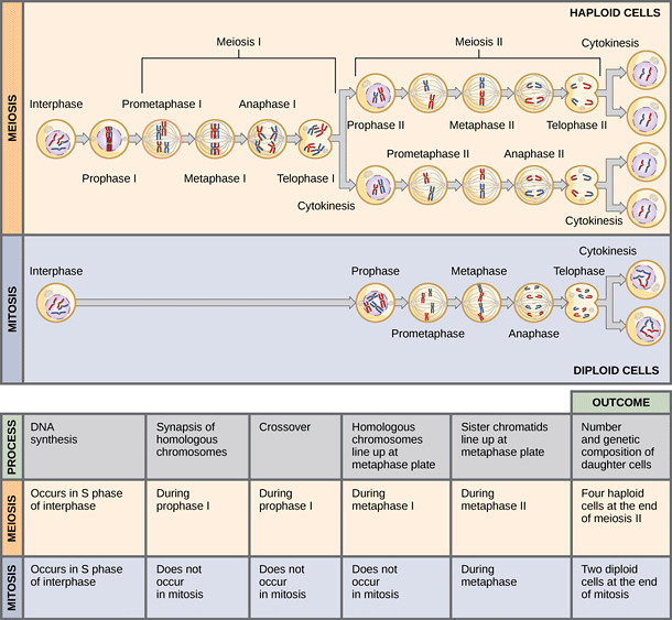 Mitosis and Meiosis parison Chart Video and