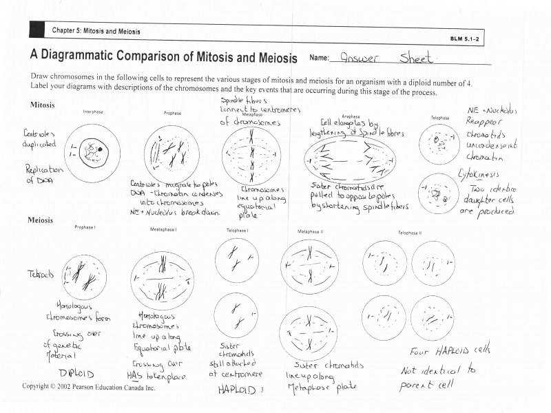 Mitosis And Meiosis Worksheets Worksheets · Mr watts Website