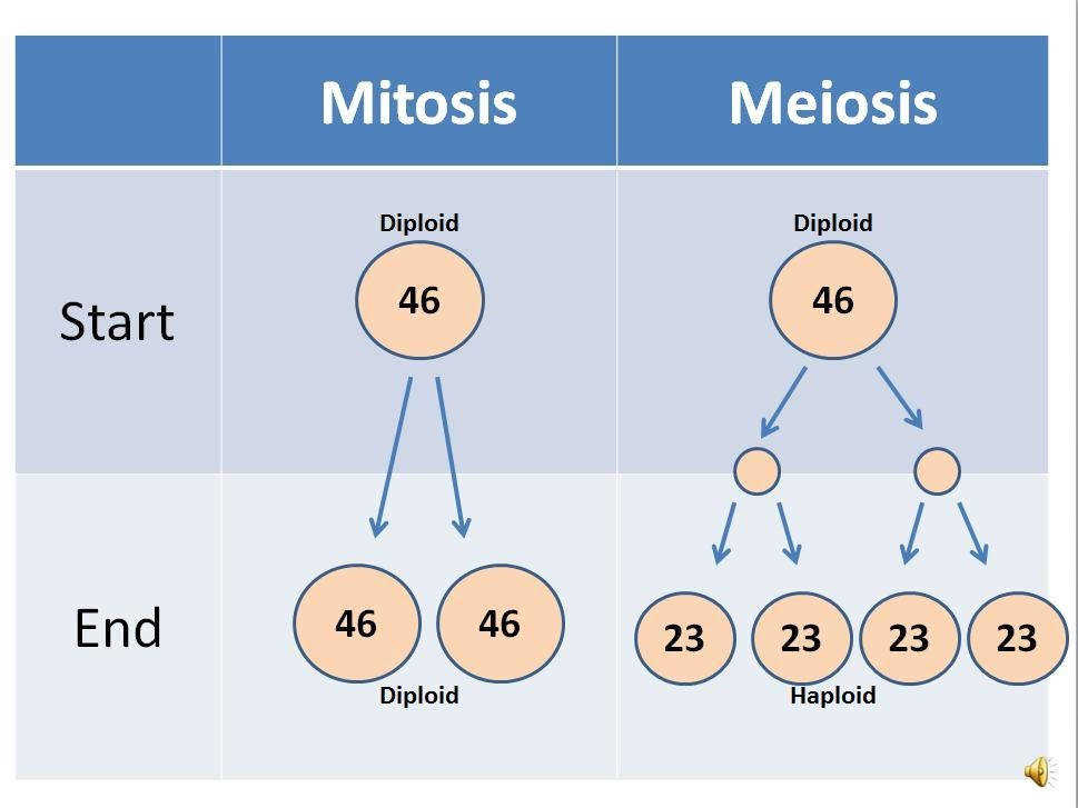 Mitosis vs Meiosis diploid and haploid cell division