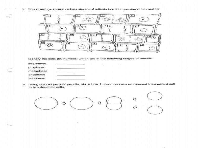 Ms Friedman s Biology Class Mitosis Worksheet