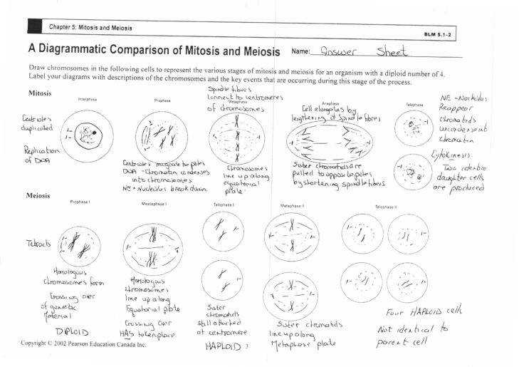 Medium Size of Worksheet the Cell Cycle And Mitosis Worksheet Answer Key Cell Cycle And