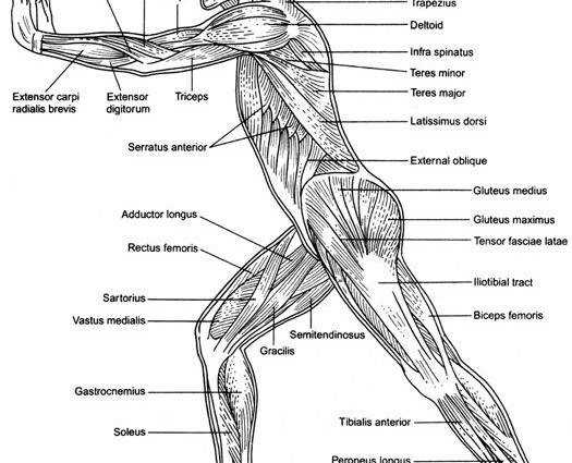 human muscle worksheet – brownshelter Muscles