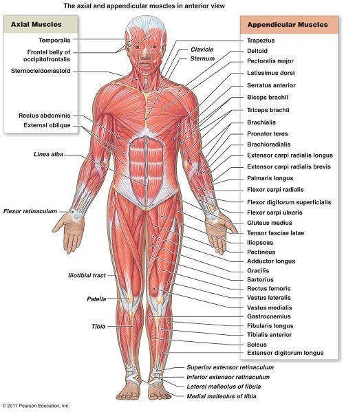 Muscle Archives Page 17 of 36 Human Anatomy Chart