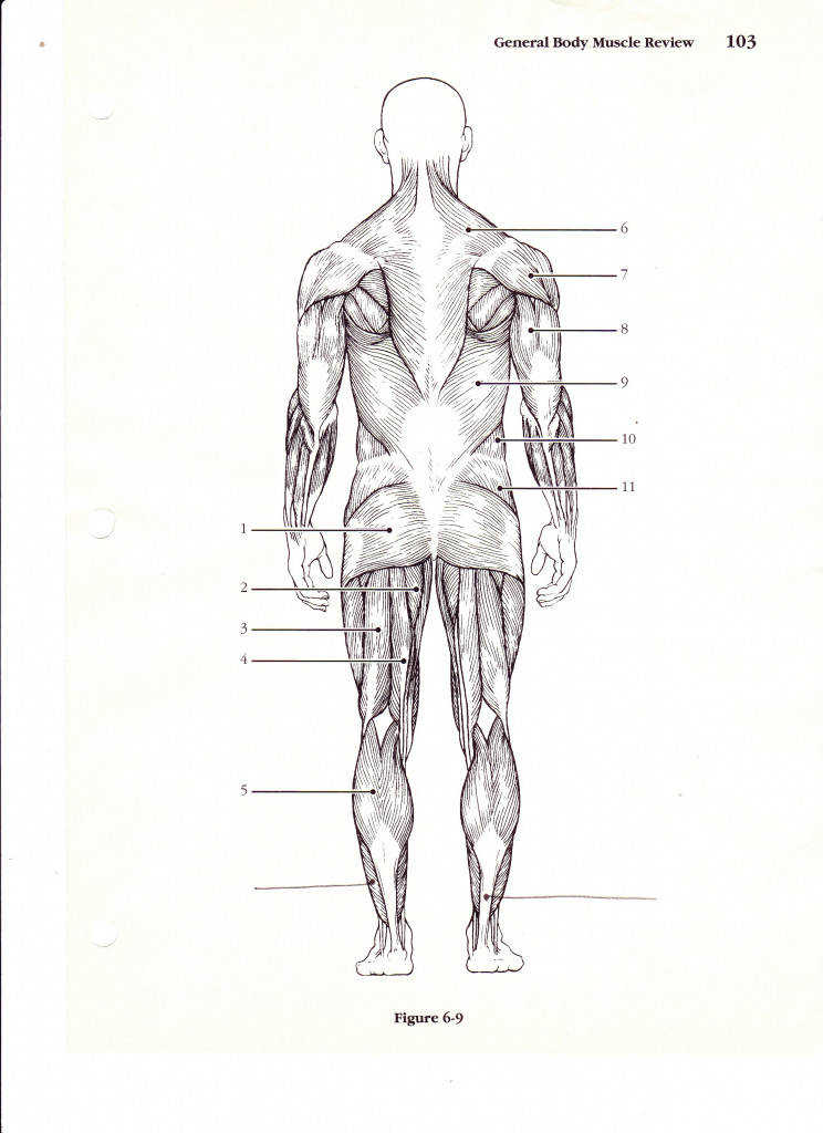 muscle diagram worksheets – applecool Muscles