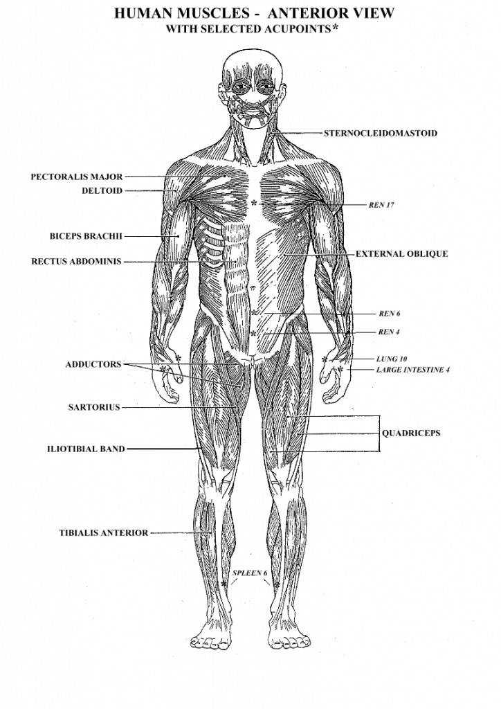 Muscle Worksheets For Anatomy Human Body Muscle Diagram Worksheet Human Anatomy Diagram