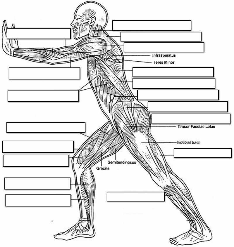 Muscular System Label Worksheet