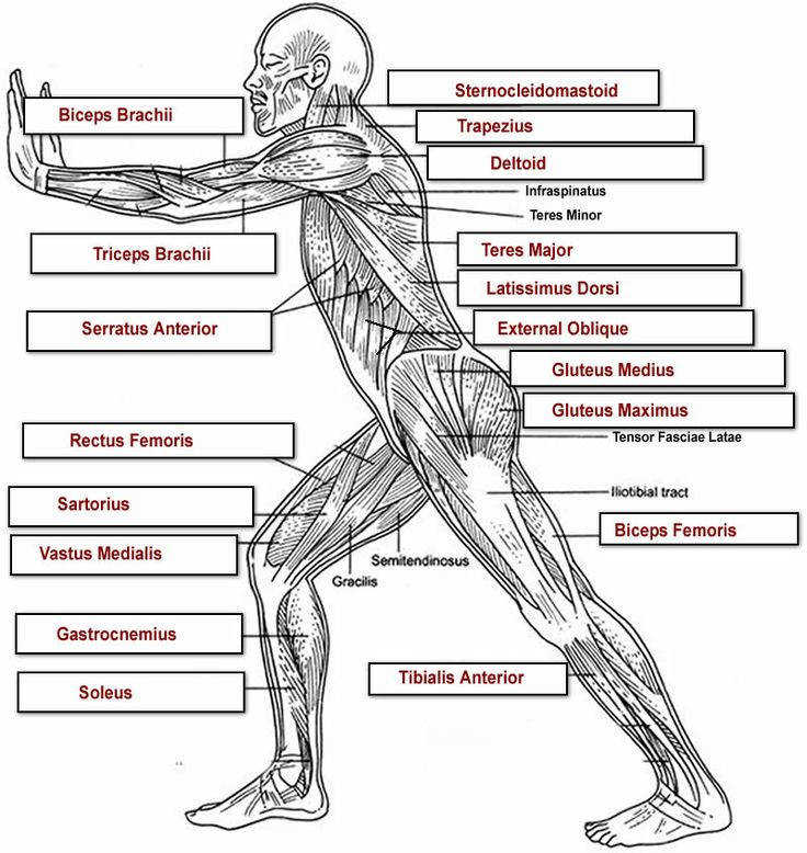 Anatomy of the human body muscles