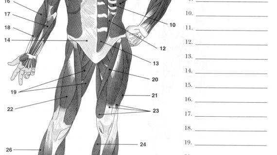 unlabelled diagram of muscular system Download Smartphone
