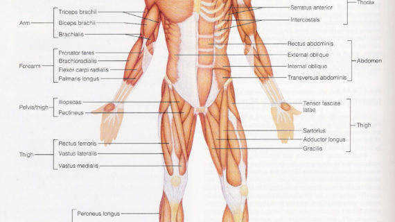Fully Labelled Diagram The Muscular System Muscular System Diagram Labeled Anatomy Chart Body