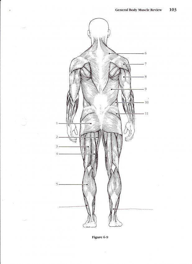 Muscle Diagram Test A Muscles 80 Charming Muscular System Coloring Pages Worksheet Answers