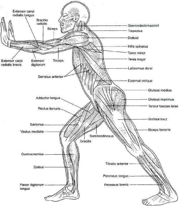Muscular System Coloring Sheets 41 Charming Pages Worksheet Answers