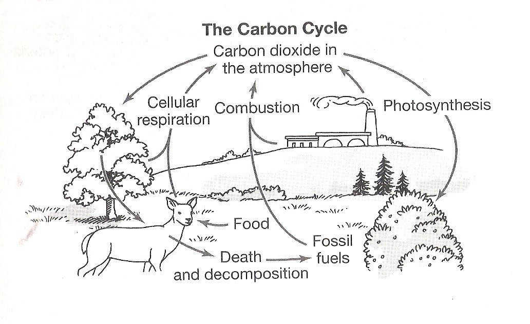 Water Carbon And Nitrogen Cycle Worksheet Answers Templates and
