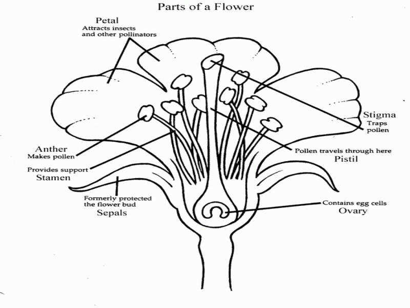Parts Of A Flower Worksheet on Fanciful Flowers Activity Page Flower Labeling