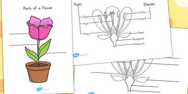 Parts of a Plant and Flower Labelling Worksheet Australia
