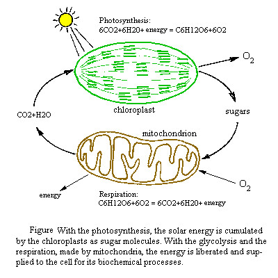 synthesis And Cellular Respiration Diagram Random synthesis And Cellular Respiration Diagram How Works Adorable 17 Best