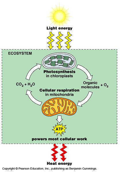 synthesis and Cellular Respiration