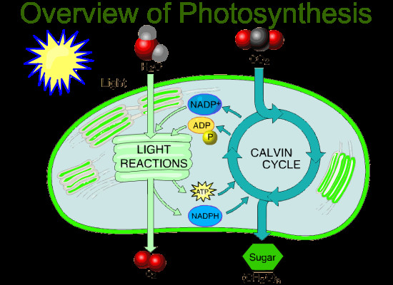 Watch the cartoons about photosynthesis