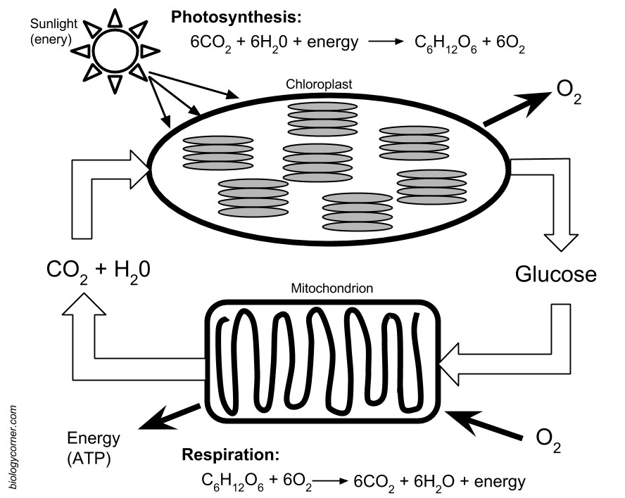 photosynthesis respiration