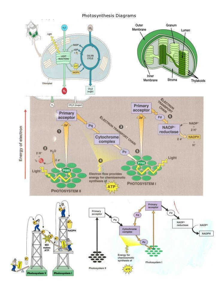 photosynthesis and cellular respiration worksheet Google Search