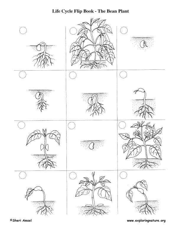 Life Cycle A Flowering Plant Worksheet Abitlikethis