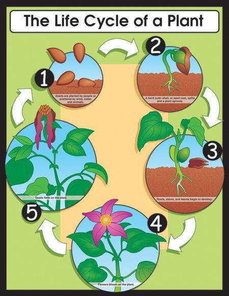 The Life Cycle of a Plant Chart View r