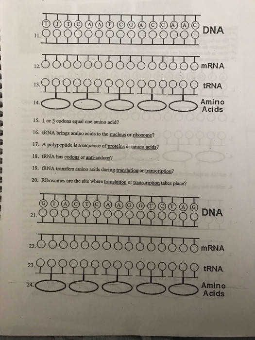 "Show transcribed image text Date Protein Synthesis Worksheet Directions 1"" Fill in the plimentary DNA strand using DNA base pairing rules"