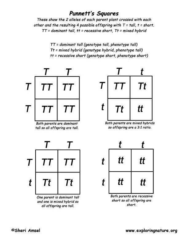 Punnett Square Worksheets Homeschooldressage Com