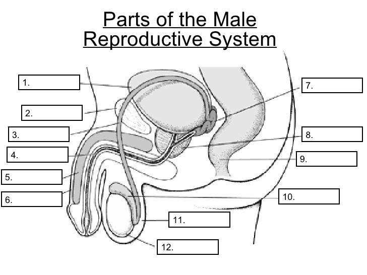 Reproductive System Worksheet
