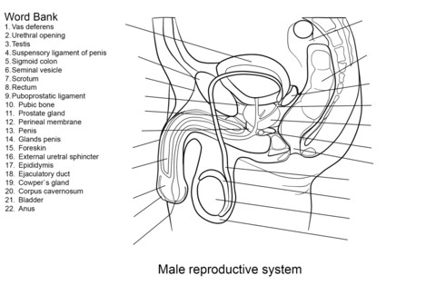 to see printable version of Male Reproductive System Worksheet Coloring page