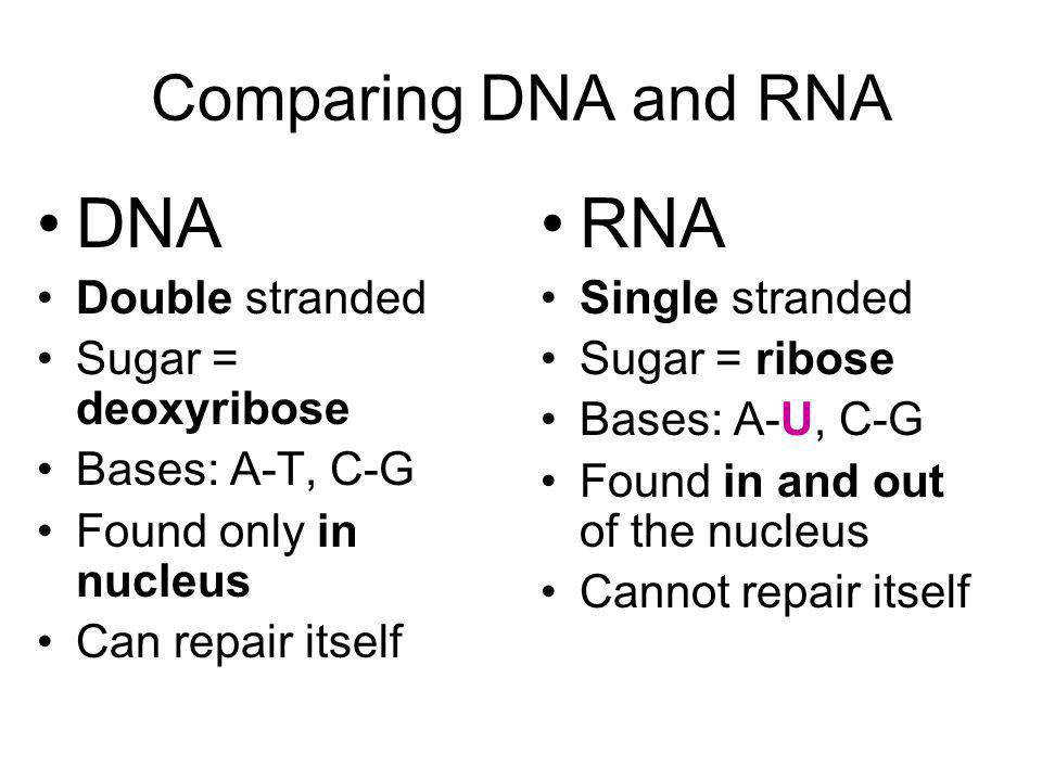 DNA RNA paring DNA and RNA Double stranded Sugar = deoxyribose