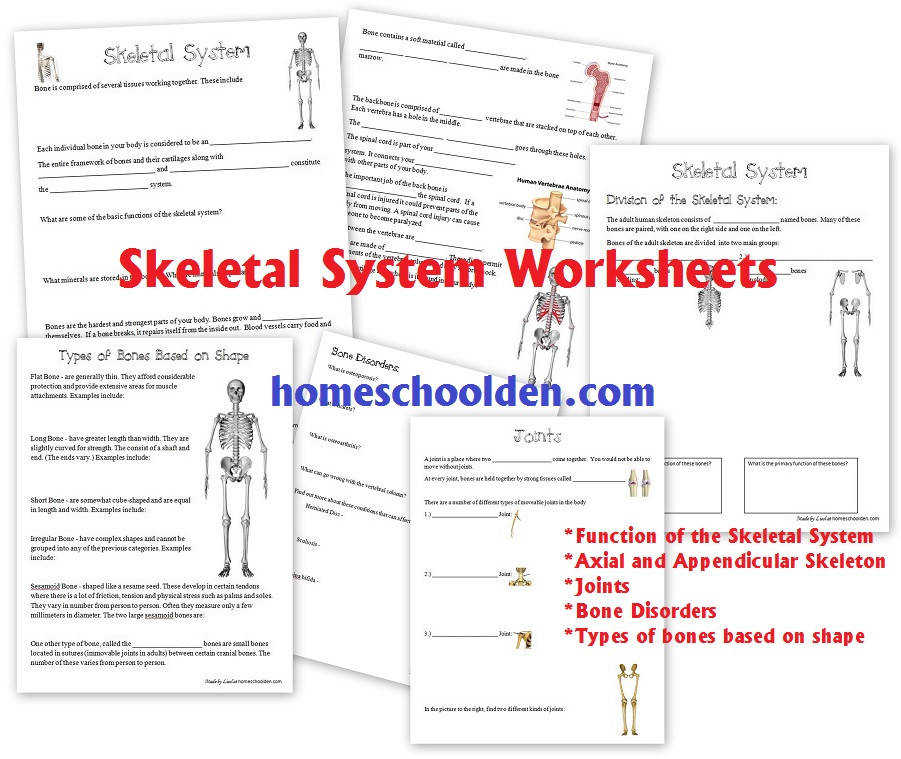 Pdf The Muscular System Coloring Packet Answers 28 Pages