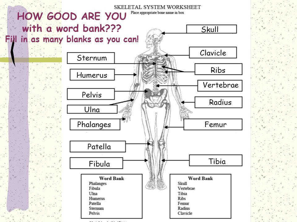 Answers To Skeletal System Worksheet answers to skeletal system