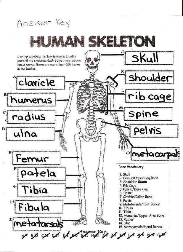 Human Muscles And Their Functions Skeleton A Skeletal System Labeled 24 Amusing Coloring Workbook Answers