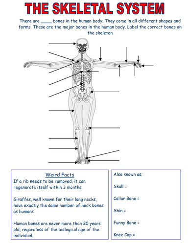 Skeletal System worksheets Edexcel by jemma13 Teaching Resources Tes