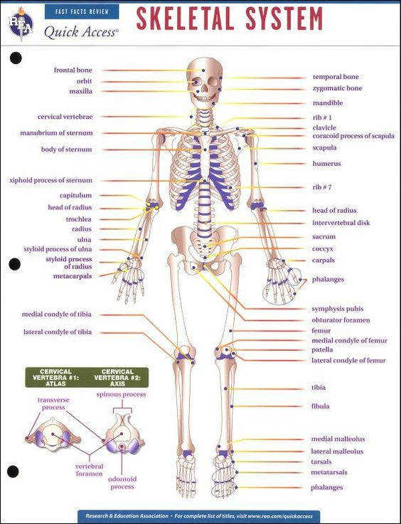 All Worksheets the skeletal system worksheet The Skeletal System Worksheet Answers Free Worksheets Library