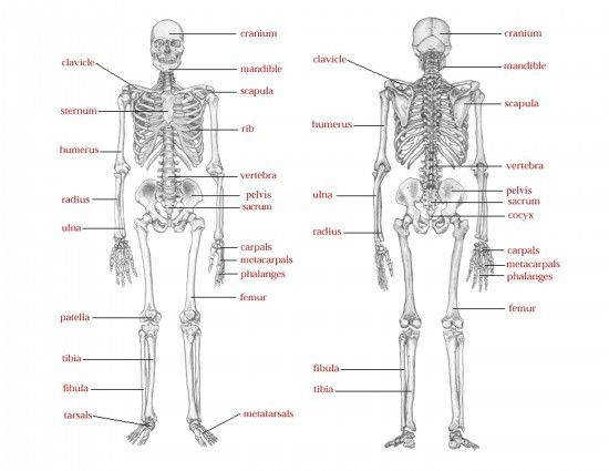 17 best Skeleton lessons images on Pinterest