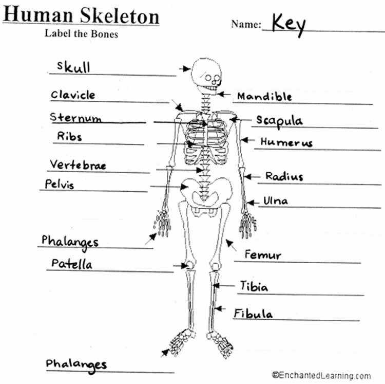 The Skeletal System Worksheet 5 Templates and Worksheets