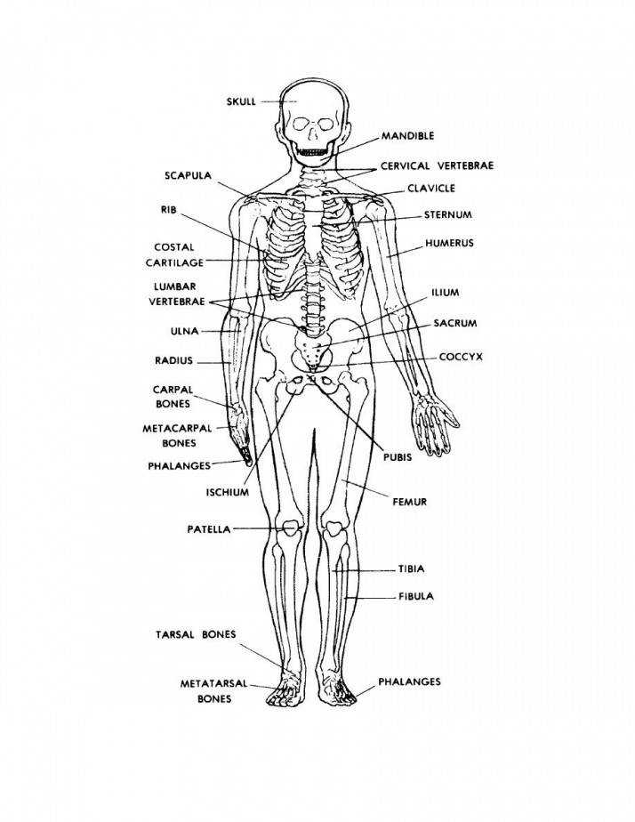 The Human Skeleton Worksheet Answers Serior regarding Human Anatomy Bones Worksheets