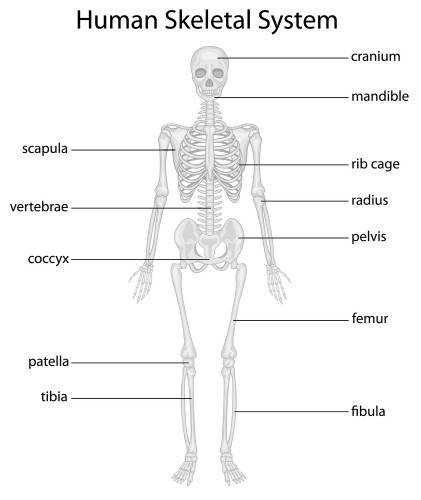 Animals with a bony skeleton are called vertebrates and humans belong to this group The skeleton protects supports and allows movement